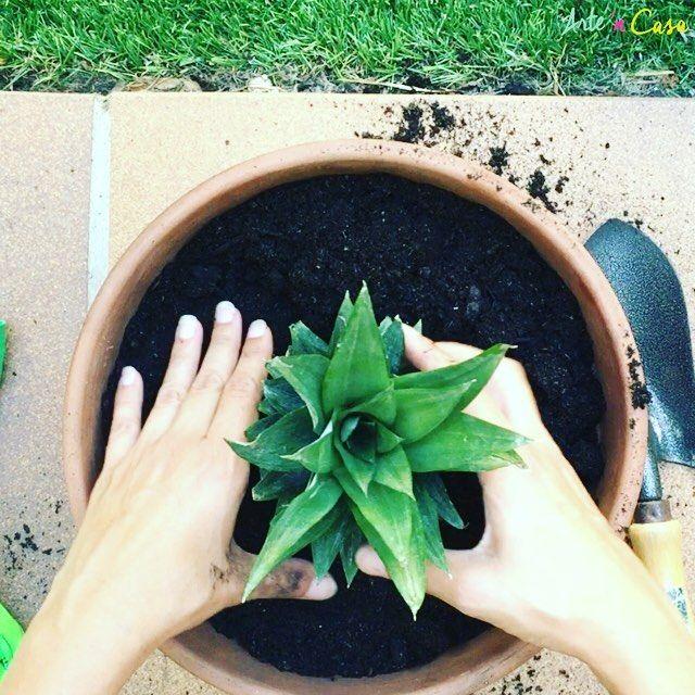 si quieres saber cómo plantar una piña en tu jardín o en una