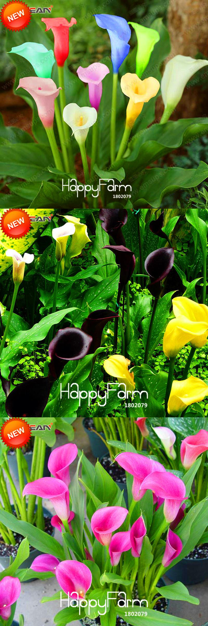 Visit To Buy Sale100 Pcsbag Rare Calla Lily Seedsrhizomes High