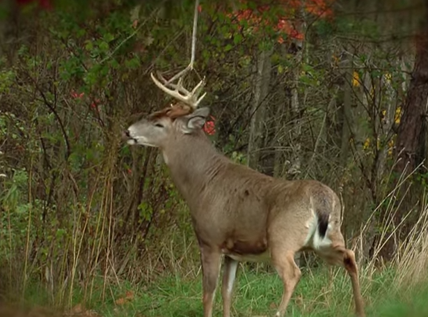 Do This One Easy Trick To Attract More Big Bucks Deer