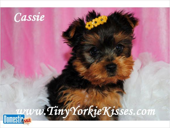 Teacup And Toy Size Yorkie Puppies For Sale In Ca 707 720 9042