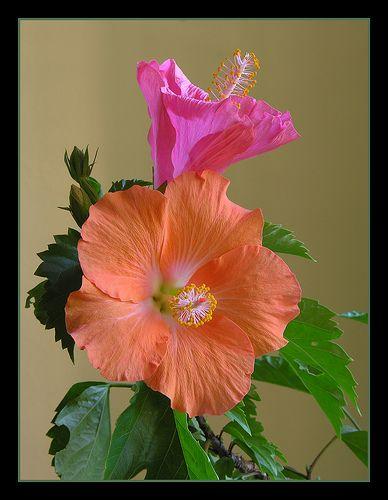 Bi-color Hibiscus