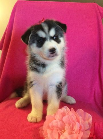 Siberian Husky Puppy For Sale In Clay City Ky Adn 41736 On