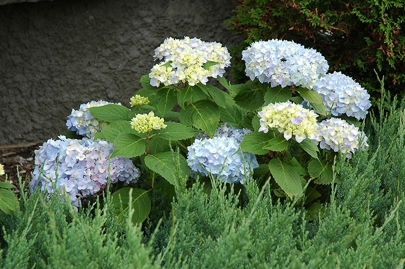 bachmans garden center. Find Endless Summer Hydrangea (Hydrangea Macrophylla \u0027Endless Summer\u0027) In Denver Arvada Wheat Ridge Golden Lakewood Colorado CO At Echter\u0027s Nursery \u0026 Garden Bachmans Center \