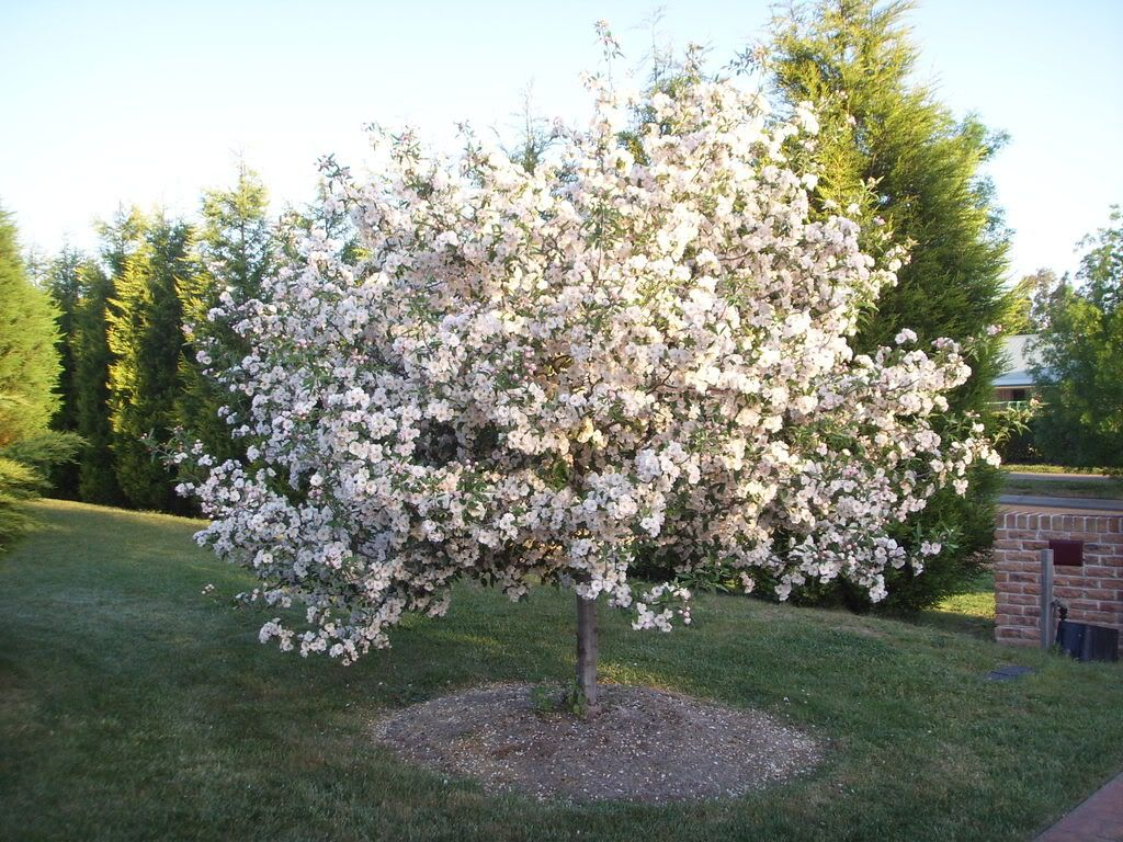 apple blossom tree bostuin pinterest blossom trees front yards and moon garden. Black Bedroom Furniture Sets. Home Design Ideas