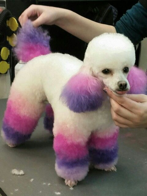 Repinned Dip Dye Toy Poodle By Demi Korporaal Chique Du Friemel
