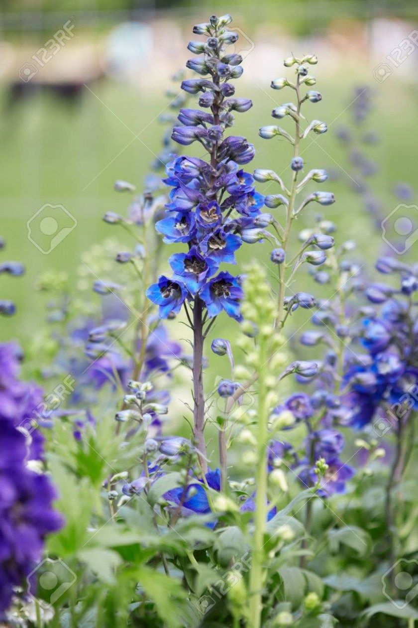 Five Pictures Of Larkspur Flowers That Had Gone Way Too