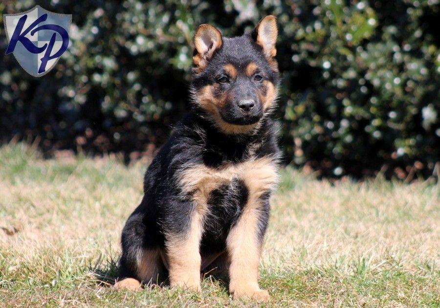 Pixie German Shepherd Puppies For Sale In Pa Keystone Puppies