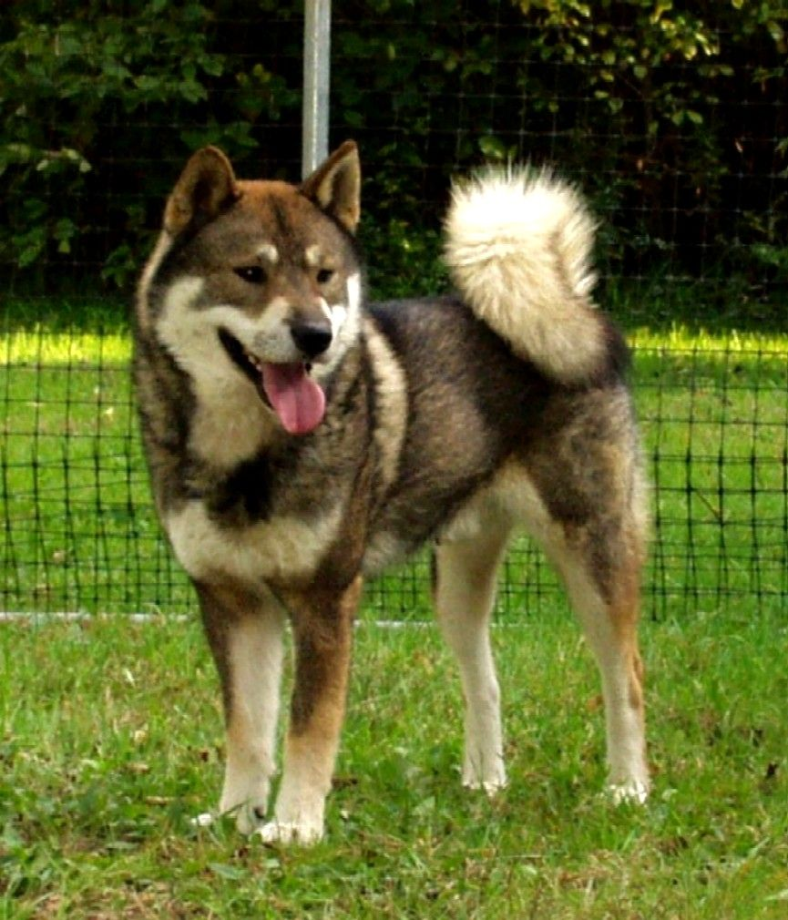 Top 10 Cutest Japanese Dog Breeds
