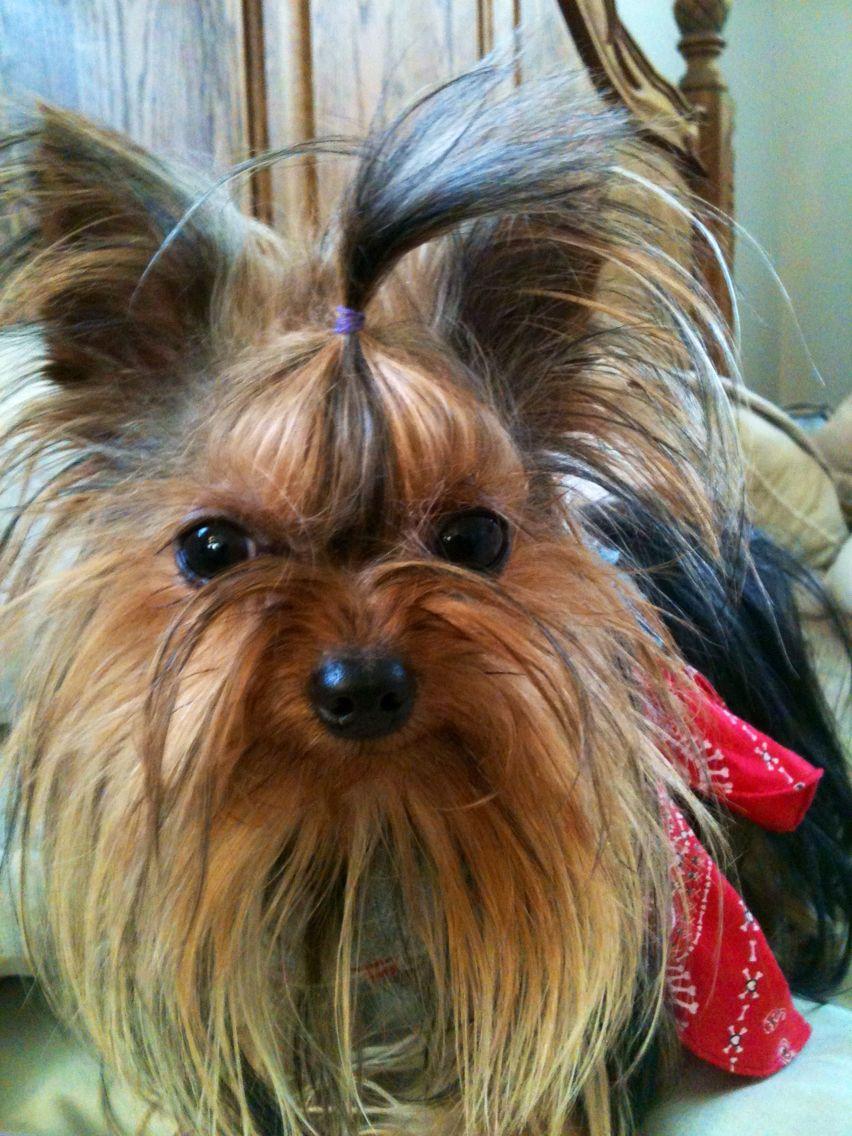 Paisley Rose In Denim Red Bandana Skirt Yorkie Dogs Yorkie Yorkshire Terrier