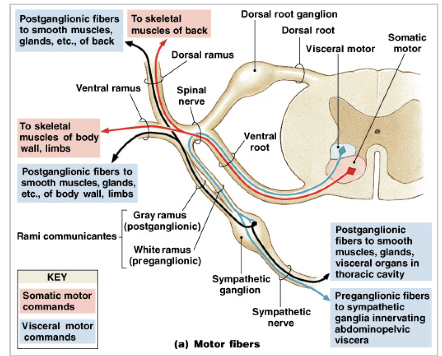hight resolution of somatic and visceral nerve fiber spinal nerve physiology pathways biology studying