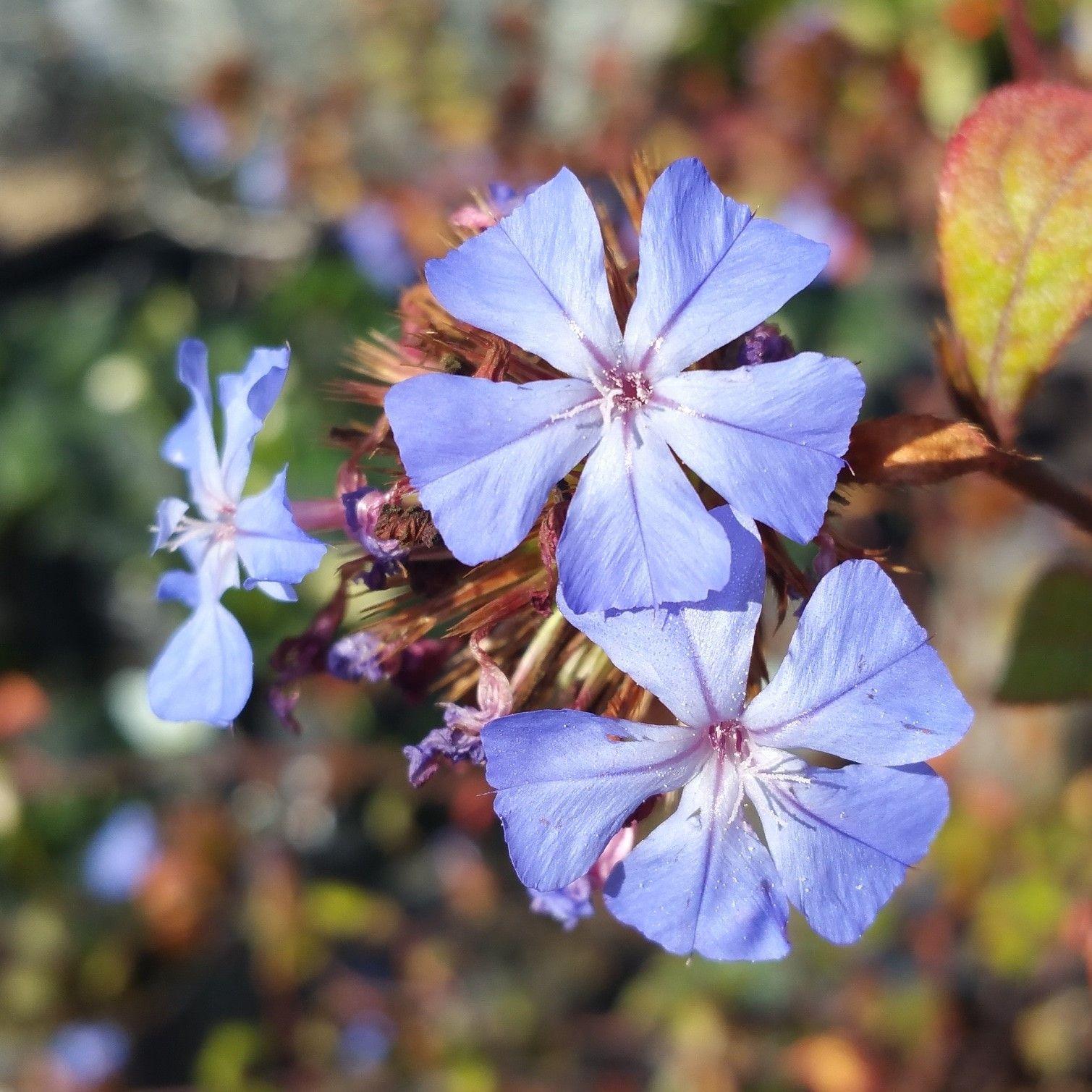 Cerastostigma plaumbiginoides flower cedarnursery