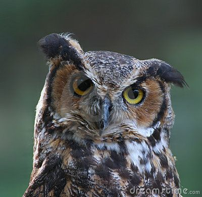 Great Horned Owl Royalty Free Stock Photography - Image: 10992447