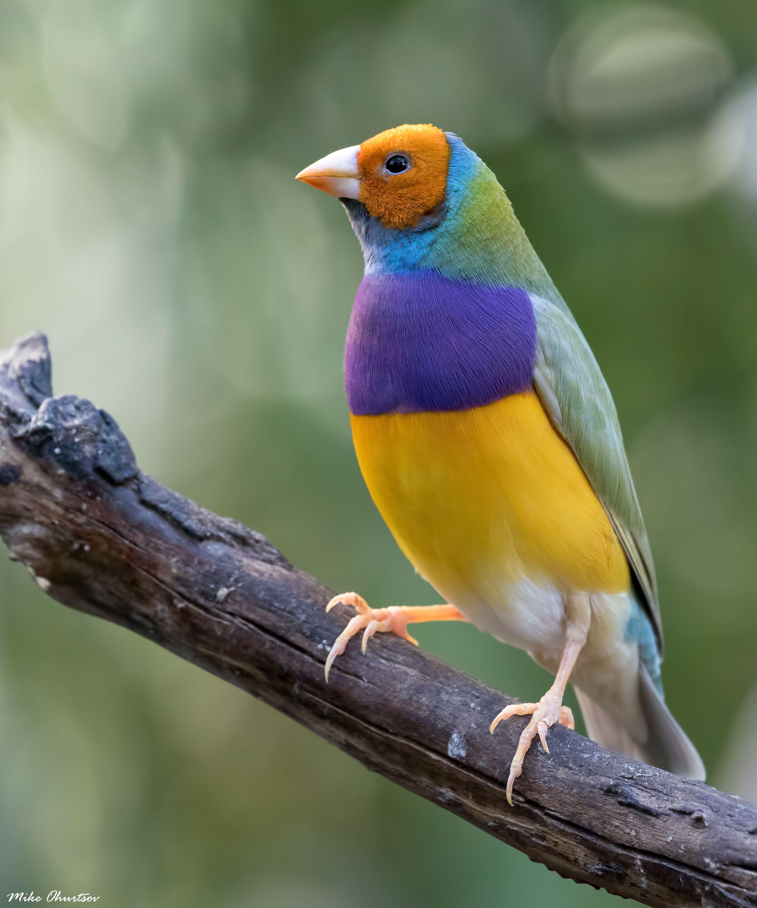 Gouldian Finch. Queen Elizabeth National Park Vancouver BC