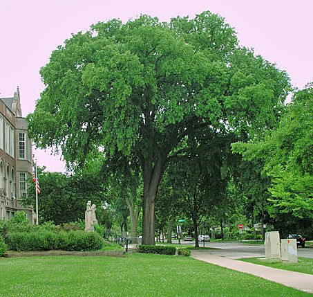 Favorite tree and forest photos my favorite tree elm for American elm