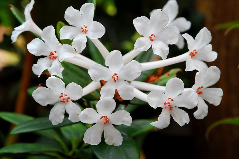 Rhododendron jasminiflorum