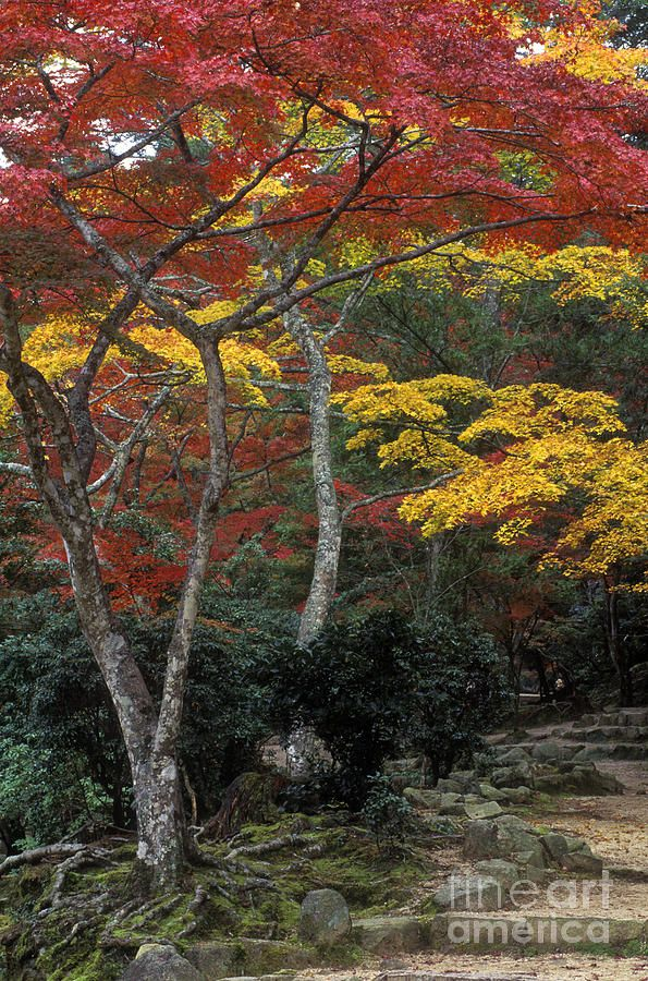 Japanese Maples turn colors in Momijidani Park during Autumn - Miya Jima Island, Japan