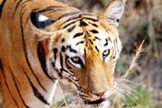 Of the 100,000 tigers that once roamed in the wild a century ago, only 3,200 are left behind, the World Wide Fund (WWF) for Nature has revealed in a report.