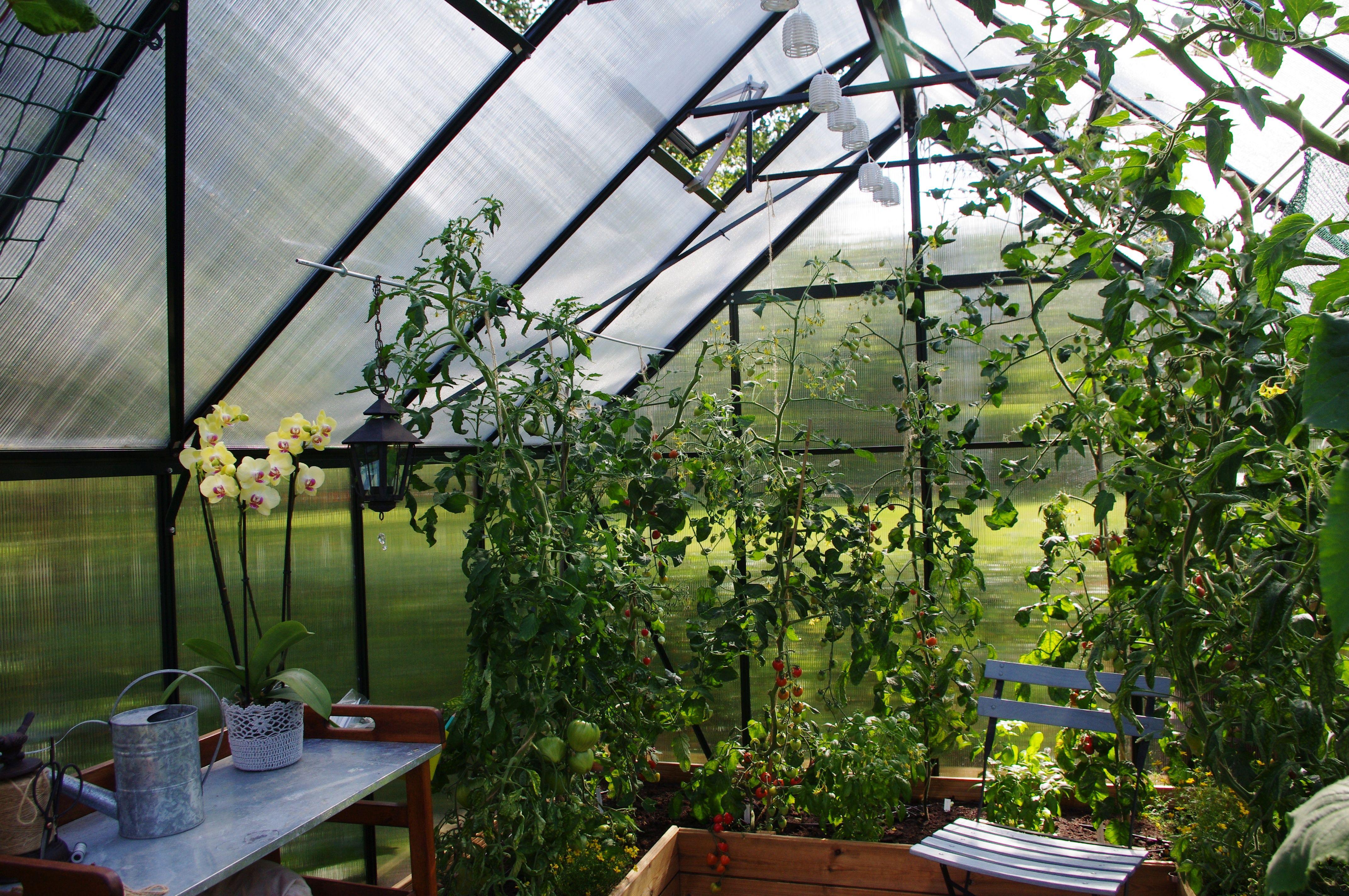 Kasvihuoneessa kasvaa tomaatteja. Pöydällä kukkii vaalea orkidea.