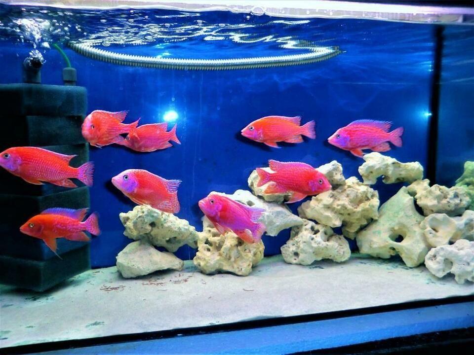 Malawi Barsche Aulonocara Fire Fish Coral Red In Bayern Rosenheim Barsche Fische Ebay