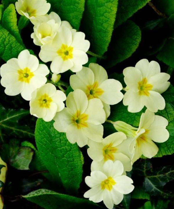 Primula vulgaris, wild primrose,Primrose  Early nectar source. Plant the fragrant wild or single blooms.