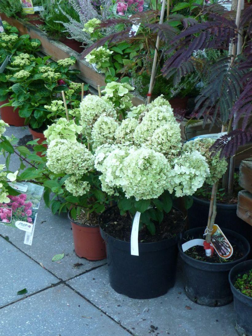 75 Beauty Colorful Bobo Hydrangea Garden Landscaping Ideas Garden