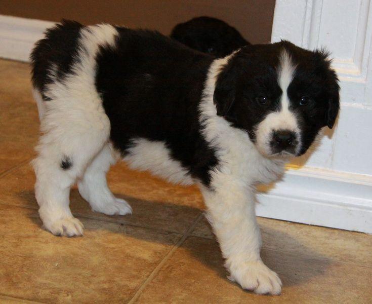 Puppies For Sale Puppies for sale, Puppies, Newfoundland dog