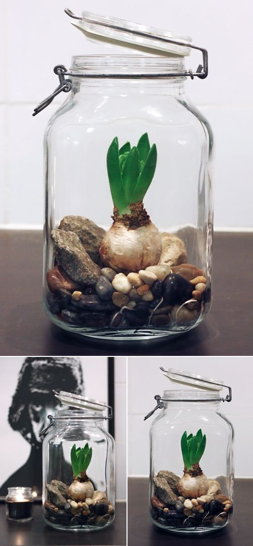 Plant In Glazen Pot.Bollen In Glazen Pot Bollen Hyacint Bulbs Garden