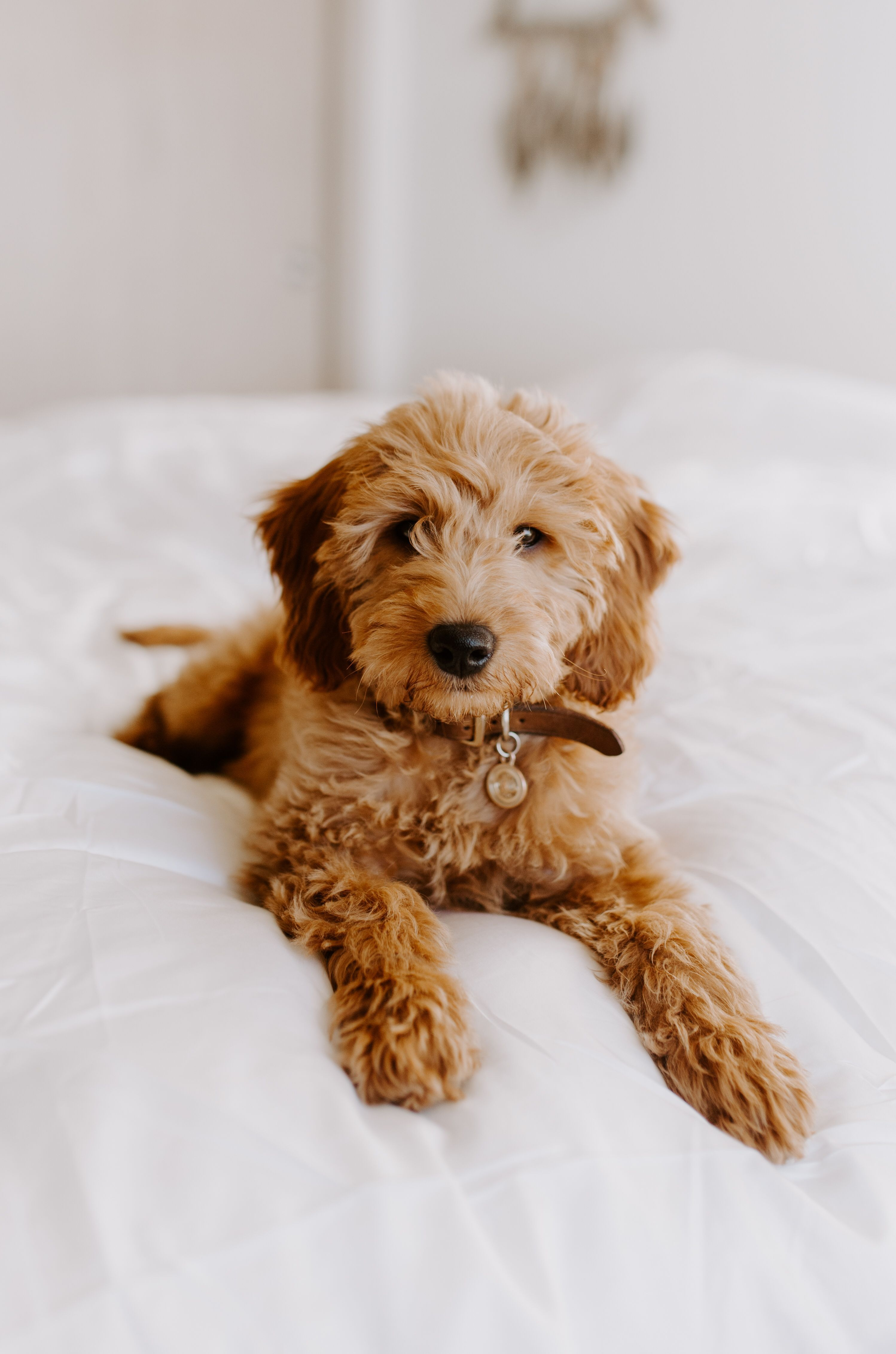 Mini Goldendoodle Wavy Hair Curly Puppy Goldendoodle Puppy