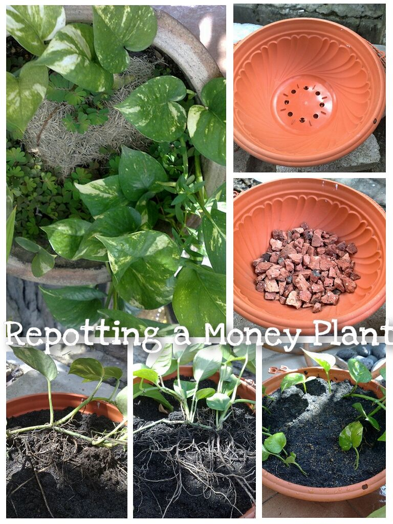 Repotting a Money Plant Place a cutting of a money tree