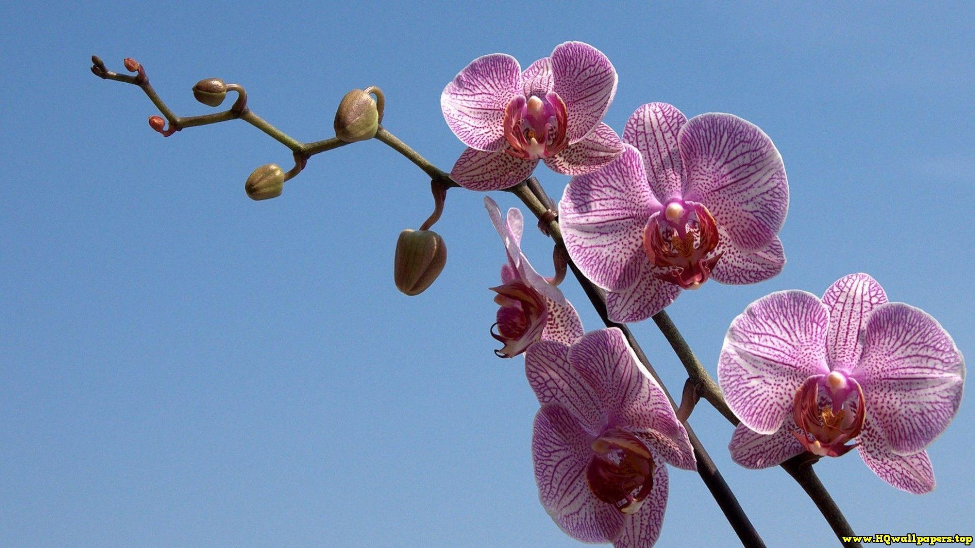 Orchid hqwallpapersp pinterest