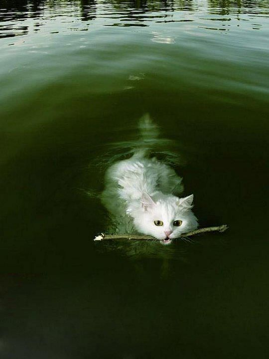 A Swimming Cat fetching a stick! - Yes it's real!!