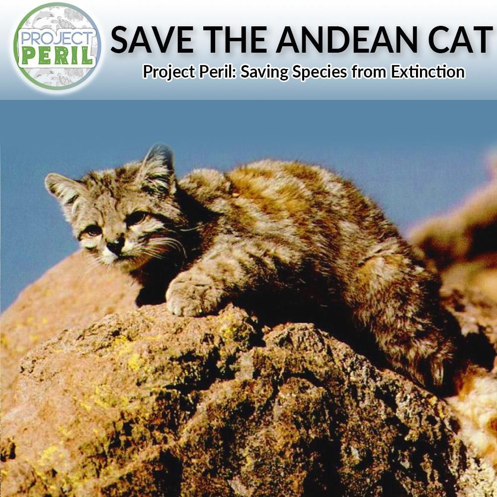 Project Peril Help Save the Andean Cat Wildlife