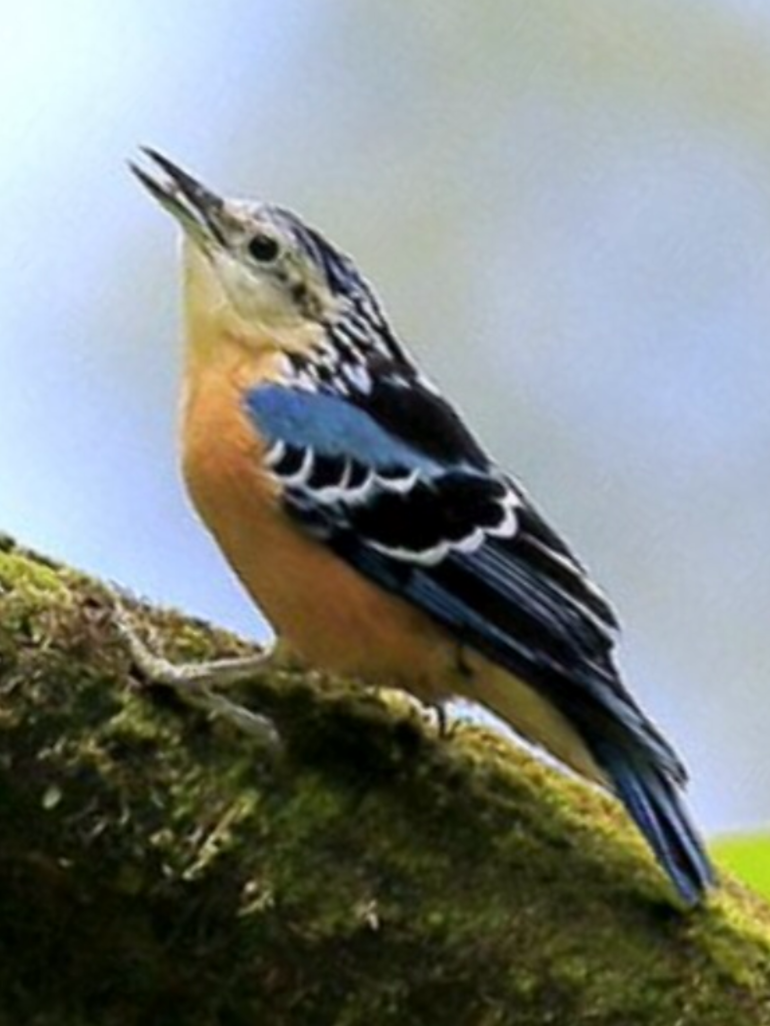 Beautiful Nuthatch, Sitta formosa Arunachal Pradesh, IN