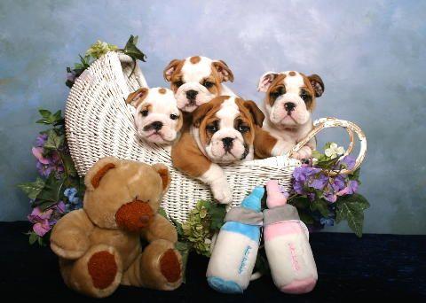 Odoms Bulldogs Bulldog Breeder Owner Fairhope Al Fairhope