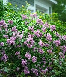 Bloomerang Lilac Shrub Bloomerang Lilac Fast Growing Trees Beautiful Flowers Garden