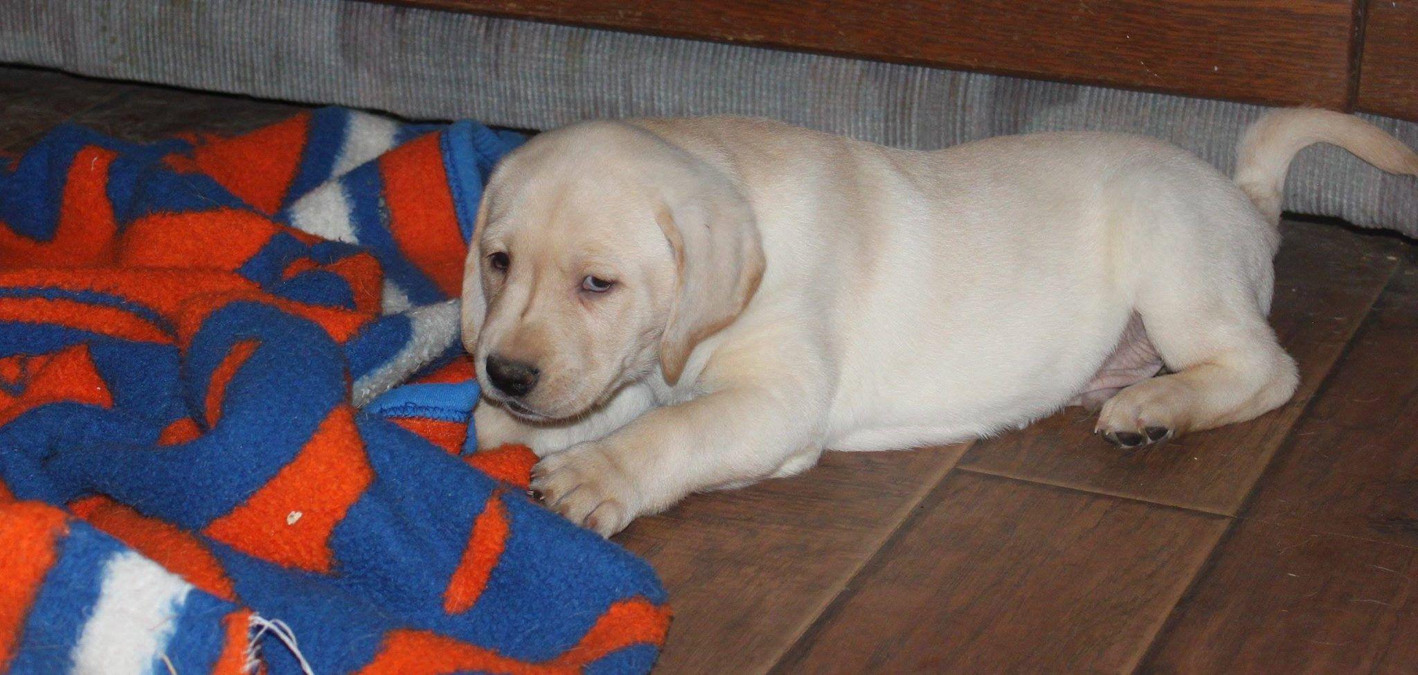 Mayhugh Kennels Still Have 1 Yellow Lab Puppy For Sale 970 520 6949 Yellow Lab Puppy Lab Puppy Puppies For Sale