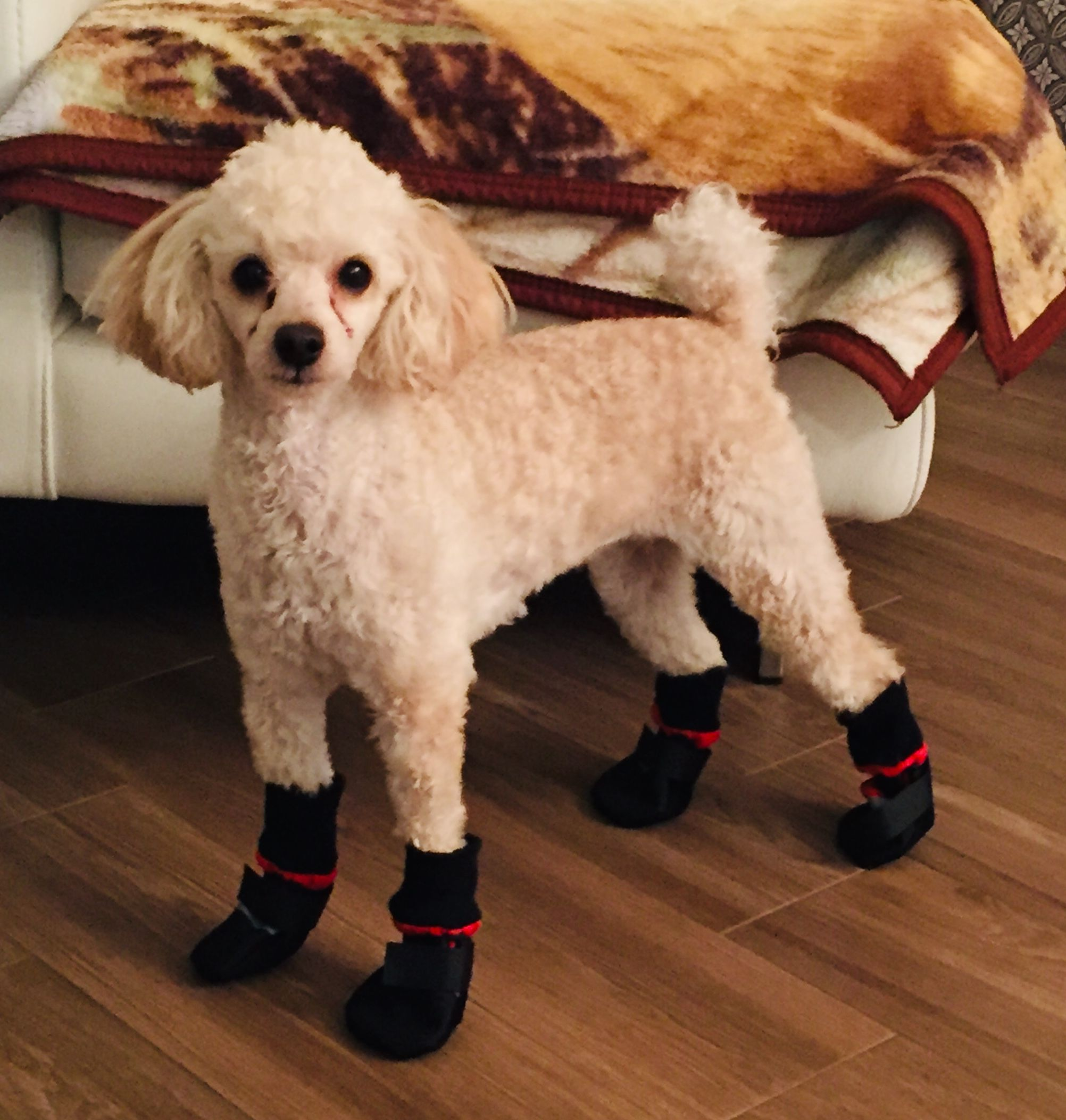 These Boots Are Made For Walking Dog Love Bichon Frise