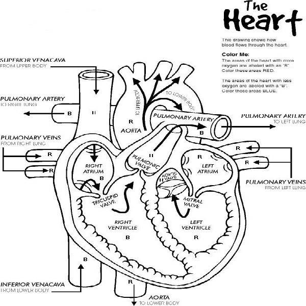 heart anatomy printable coloring pages body systems. Black Bedroom Furniture Sets. Home Design Ideas