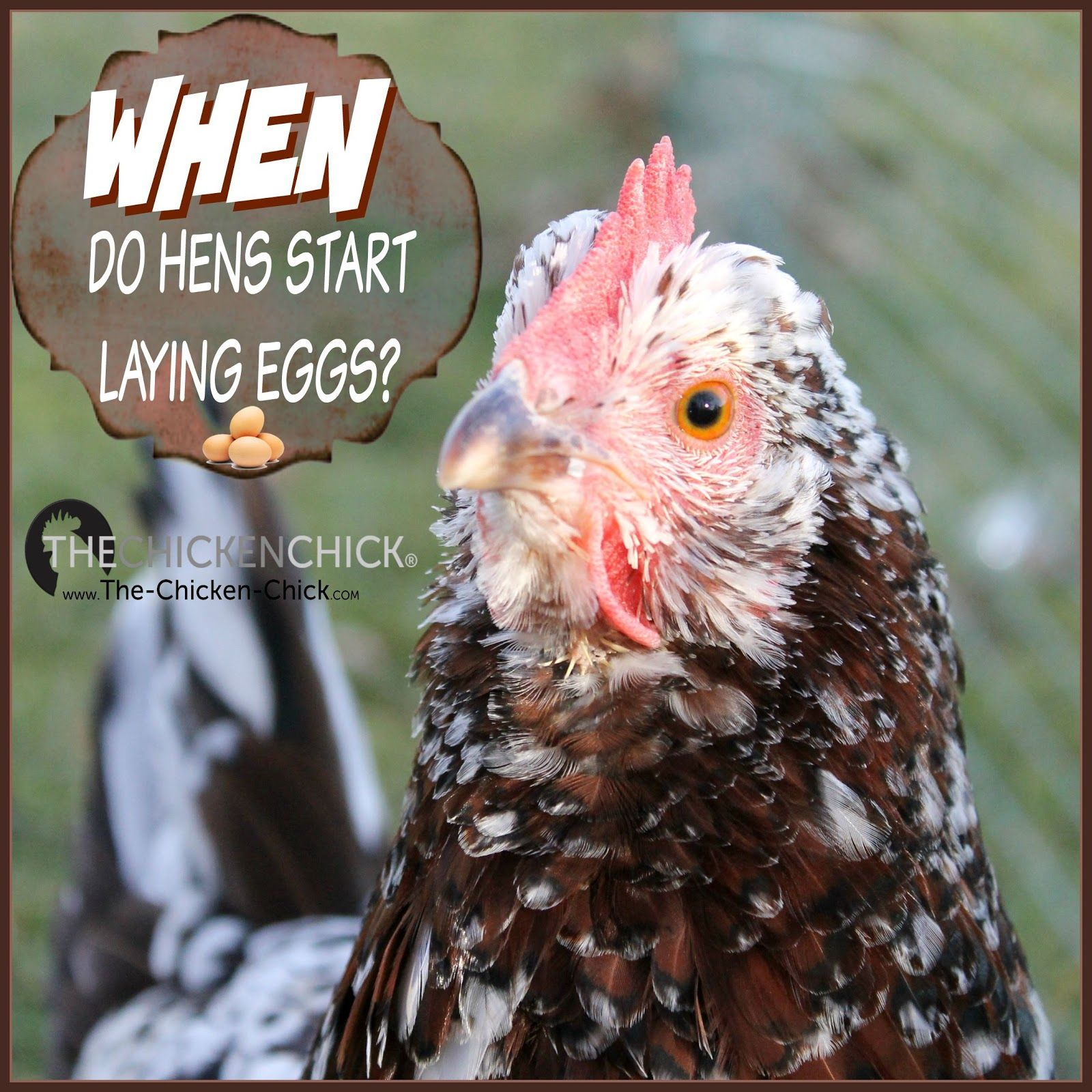 When Will a Hen Begin Laying Eggs? Watch for The ...