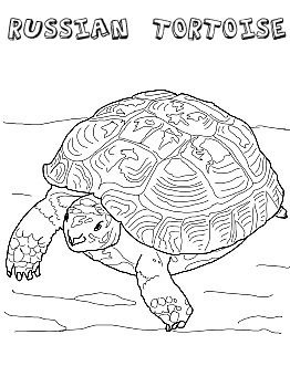 Russian Tortoise Coloring Sheet Turtle Coloring Pages Turtle Painting Animal Coloring Pages
