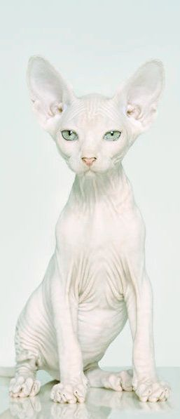 14 Most Amazingly Beautiful Cat Breeds In The World Sphynx