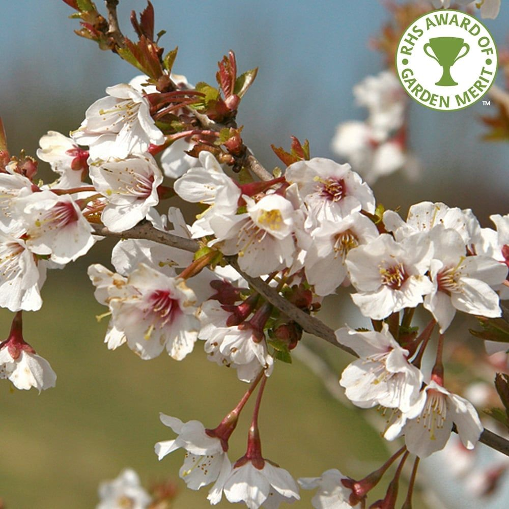 Prunus Incisa Kojo No Mai Tree Or Fuji Cherry From Flowering And Anese Experts In The Uk