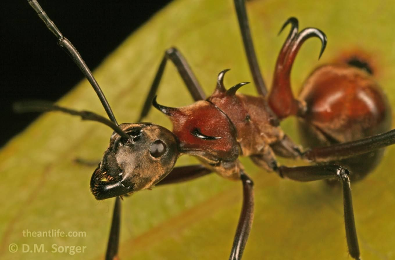 fish hook ant polyrhachis bihamata observed on a expedition to