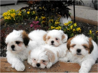 Shih Tzu Puppies Genuinely Cute Denver 80219 For Sale Denver Pets Dogs In 2020 Shih Tzu Puppy Shih Tzu Puppies
