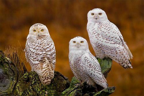 "iainyork: "" the trilogy "" ( snowy owl           photography by stephen w. oachs."