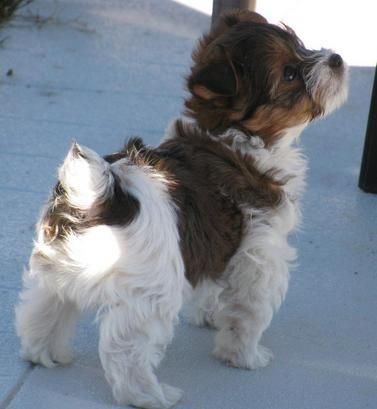 Parti Colored Yorkies For Sale Parti Yorkies Are Priced
