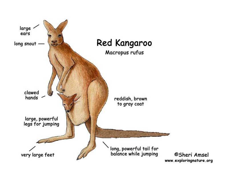 Kangaroo Reproduction Life Diagram - Electrical Work Wiring Diagram •