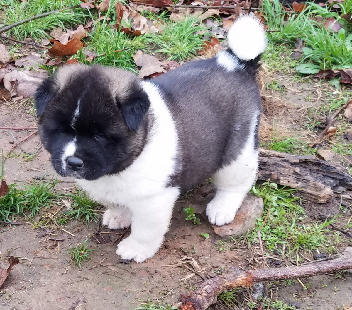 Bruno Male Akc Akita Puppy For Sale In Humansville Mo Akita