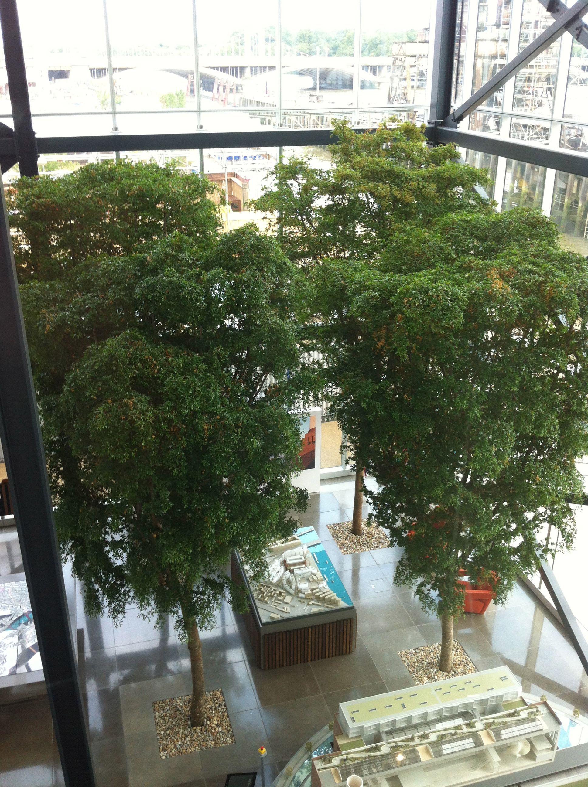 4 Specimen 8M Black Olive Trees Make An Impressive Statement