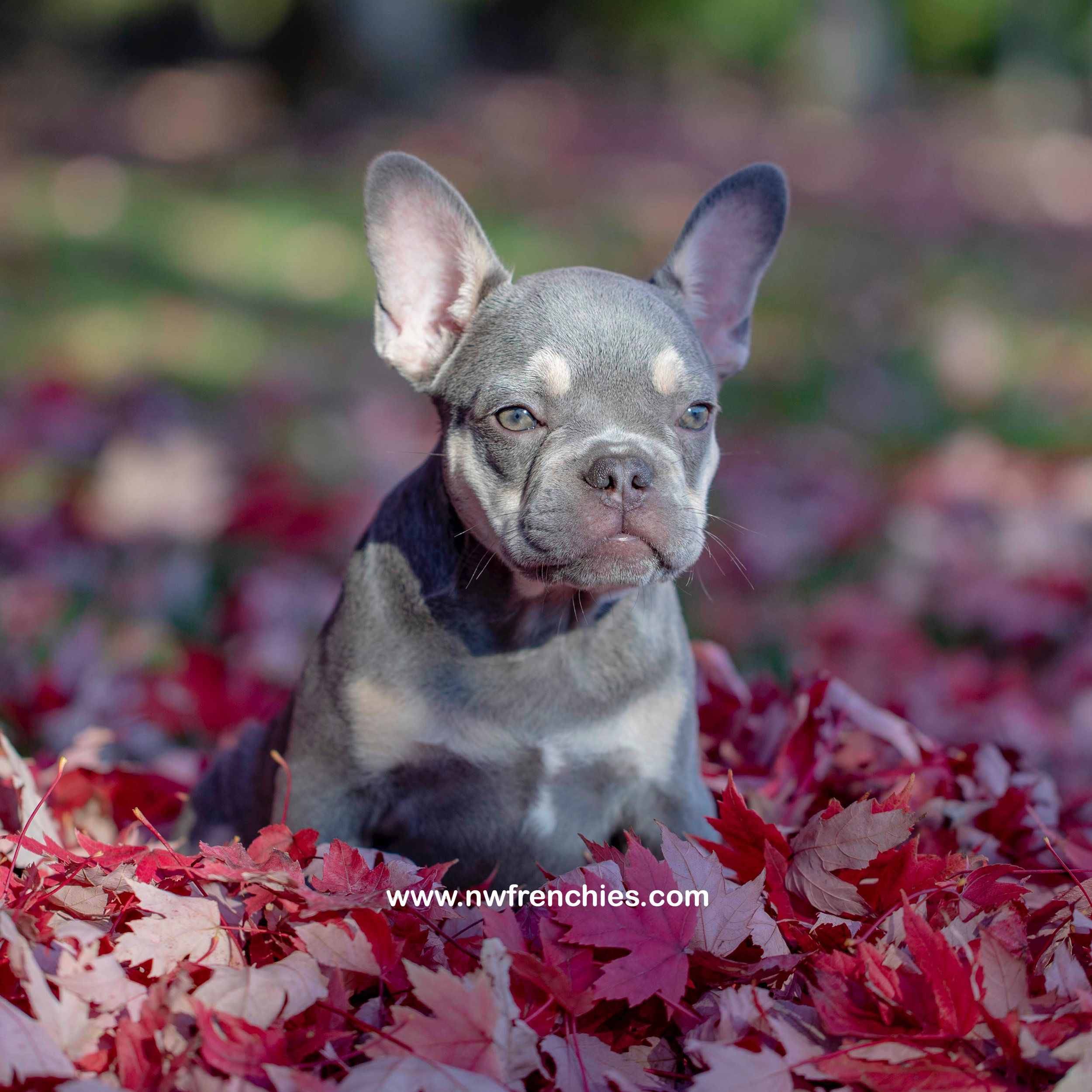 Reserved Akc Lilac French Bulldog Puppies For Sale Bulldog
